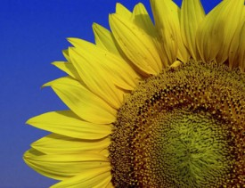 genericprofile-sunflowers.jpg