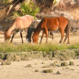 WILD HORSES GRAZE AT SEASIDE